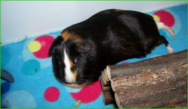 guinea pig on fleece bedding